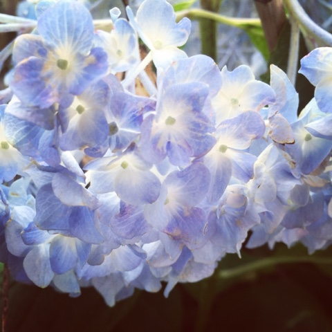 hydrangea. blue ones. from my yard.