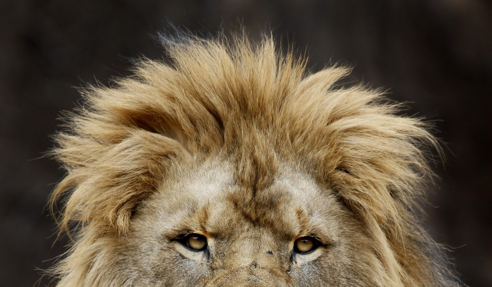 The top of a male lion's head with a really weak mane. Such bad hair day!