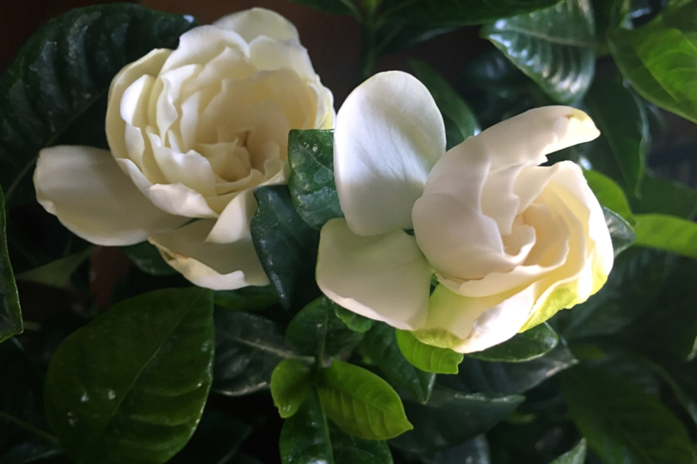 Gardenias. Pretty, no?