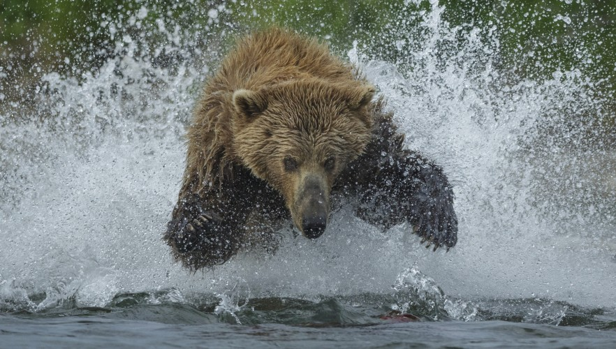 In Alaska's Katmai National Park, there are abundant sock-eye salmon in the rivers and abundant bears hungry for them. Here a brown bear bounds and splashes after a school of the red fish.