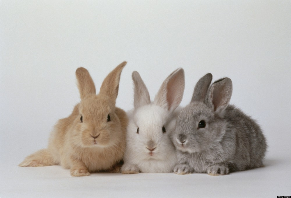 Three adorbs baby bunnies, brown, white and gray. They look very soft. And not dusty at all. Did you get that they are DUST BUNNIES? Alt text humor.